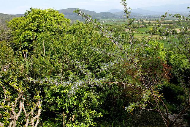Sophora davidii (davidi) (= Sophora viciifolia) - sophora de David  1neir91