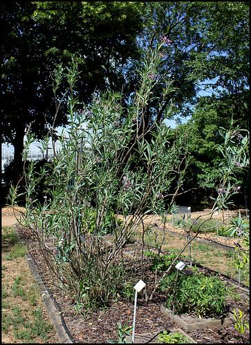 Solanum glaucophyllum - solanum à feuilles glauques 1neir94