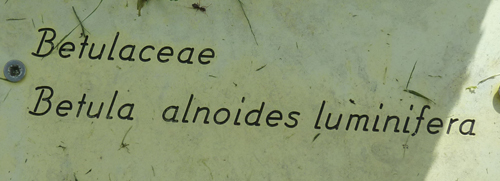 Betula sp. ?  [identification non terminée] 1ness13