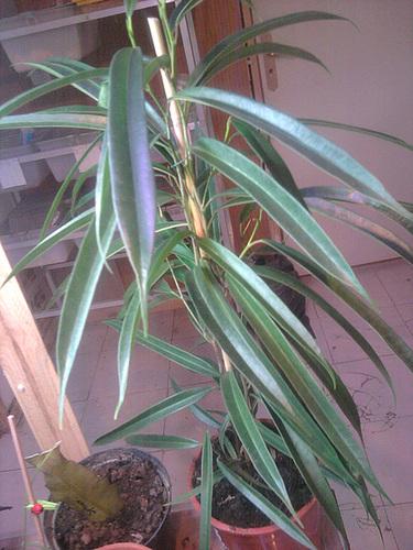 Ficus maclellandii 1phoen15