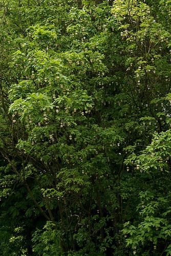 Staphylea pinnata 1serg18