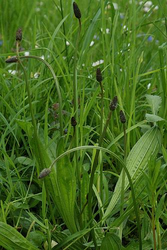 Plantago lanceolata - plantain étroit 1serg26
