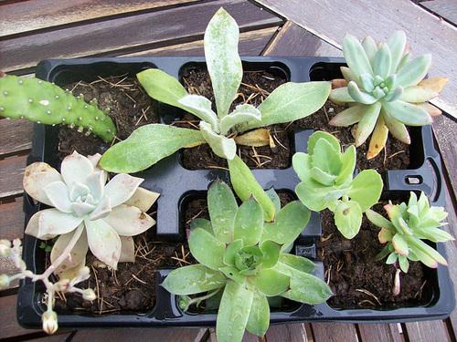 succulentes diverses  [identifications] 1sol12