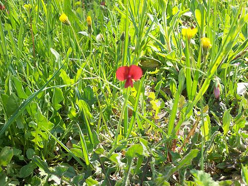 Lathyrus cicera - jarosse, gessette 1sol13