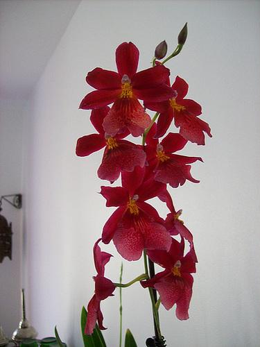 Burrageara 'Nelly Isler' (Cambria hybride) 1sol15
