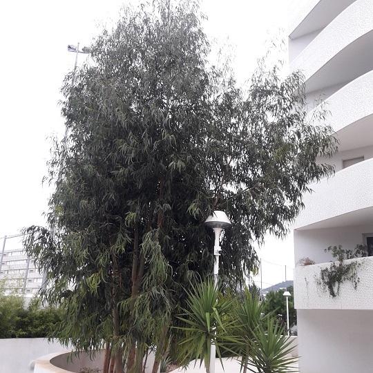 Eucalyptus globulus 1trag10