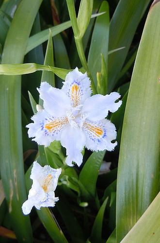 Iris d'ici et d'ailleurs - des espèces - Page 2 2-abei15