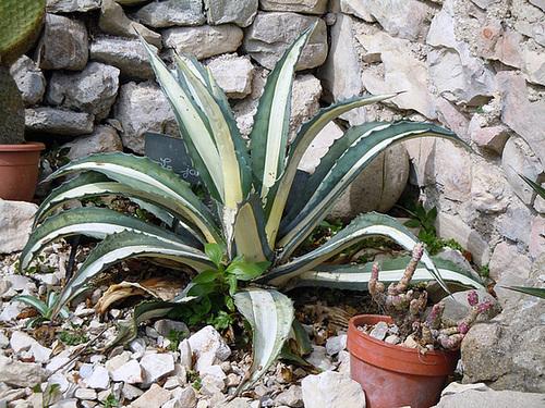 rusticité des cactus et succulentes en extérieur - listes 2-abei17