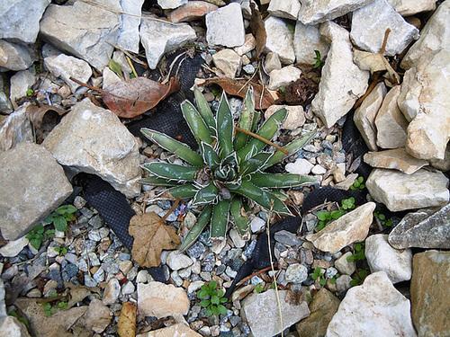 rusticité des cactus et succulentes en extérieur - listes 2-abei19