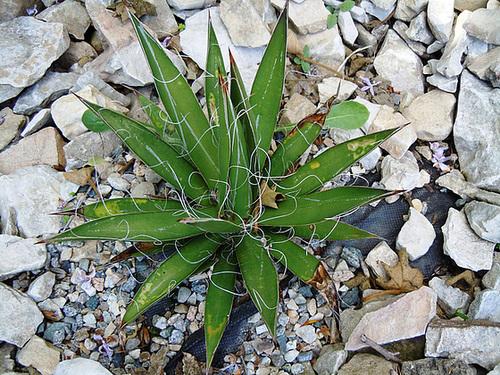 rusticité des cactus et succulentes en extérieur - listes 2-abei20