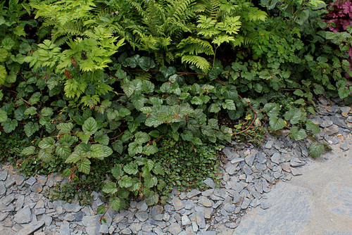 Rubus - le genre - culture, questions... 2-neir12
