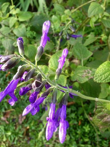 Salvia - les floraisons du moment - Page 12 2015
