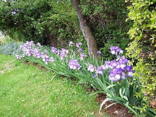 Floraison de nos iris barbus saison 2014 - Page 2 2039
