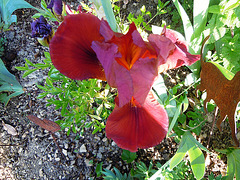 Floraisons de nos Iris barbus 2013 - Page 5 2041