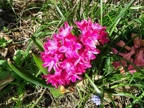 Hyacinthus orientalis - jacinthe 20melo10