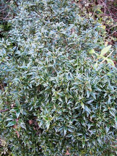 Ilex aquifolium - houx commun  21-abe10
