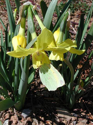 Narcissus - les narcisses 21-cug10
