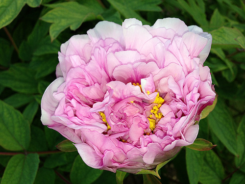 Paeonia - pivoines arbustives - Page 2 2117