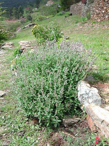 Salvia fruticosa 2119