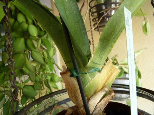 Angraecum magdalenae 2122