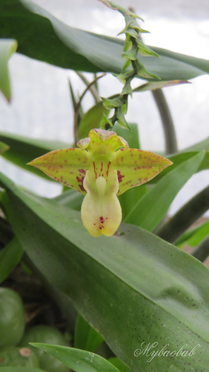 Polystachya maculata 2125