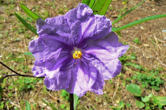 Solanum laciniatum, Solanum aviculare, Ruellia - confusions 2129