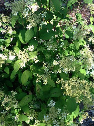 Hydrangea arborescens 'Hayes Starburst' 2142