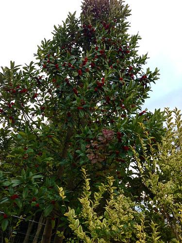 Ilex 'Castaneifolia' - houx à feuille de châtaignier 2143