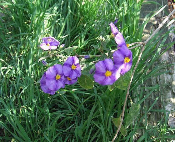 Solanum rantonnetii 2149