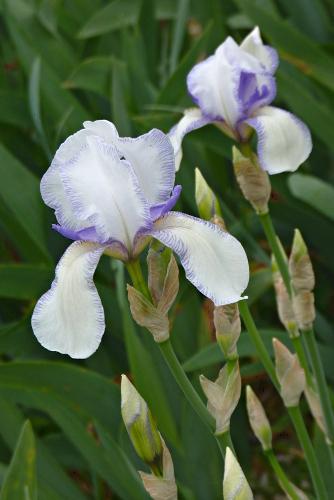 Iris 'Ma Mie' - Ferdinand Cayeux 1906 2155