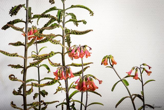 Bryophyllum delagoensis (= Kalanchoe delagoensis = K. tubiflora) et hybrides - Page 2 21melo10