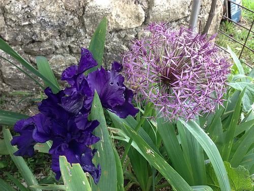 Floraisons de nos Iris barbus 2013 - Page 7 22-abe10
