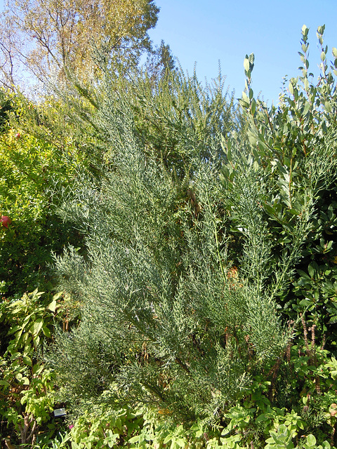 Colletia hystrix 220