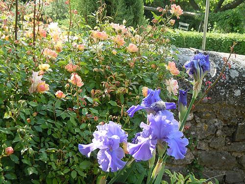 Nos Iris : floraisons 2012 - Page 3 2239