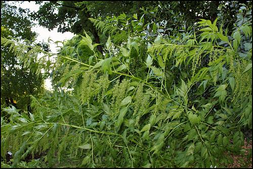 Datisca cannabina - datisque faux chanvre, chanvre vivace 2251