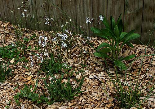 Silene flos-cuculi 'White Robin' (= Lychnis) - lychnis fleur de coucou blanc  2261