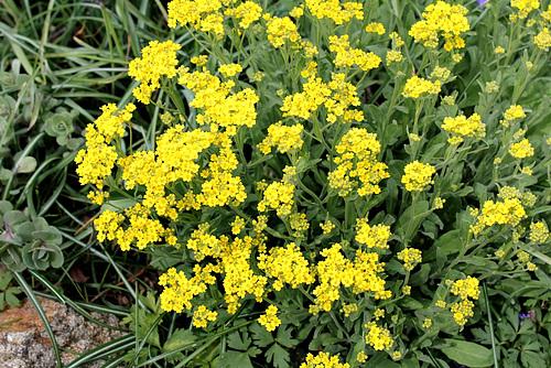 Aurinia saxatilis (= Alyssum saxatile) - aurinie des rochers, alysse corbeille d'or  2272