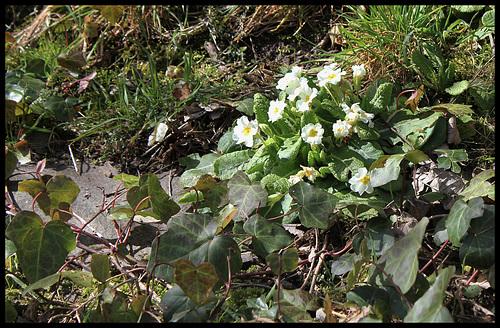 Primula vulgaris - primevère commune, primevère acaule 2274