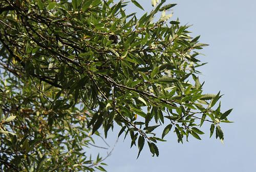 Quercus libani - chêne du Liban 2283
