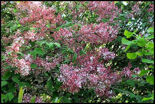 Syringa josikaea - lilas de Hongrie 2285