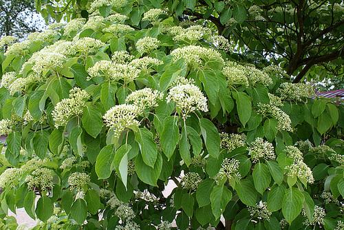 Cornus macrophylla - cornouiller à grandes feuilles  2291