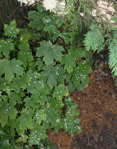 Acer platanoides - érable plane  2292