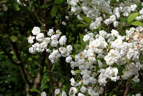 Spiraea prunifolia  2297