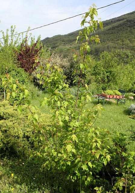 Acer ginnala et Acer tatarica ssp ginnala - érable de Tartarie  2298