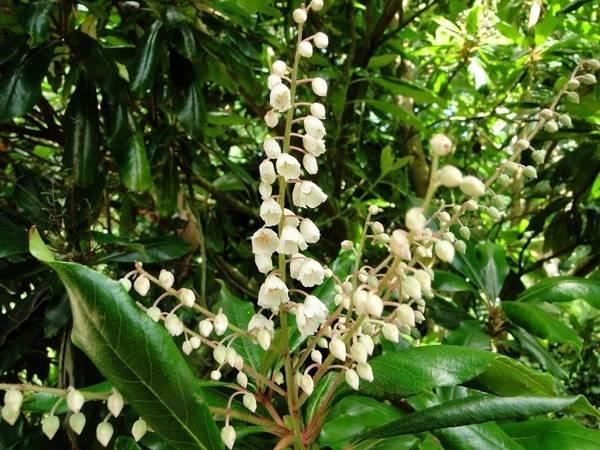 Clethra arborea 2304