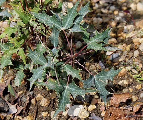 Mahonia trifoliolata  2306