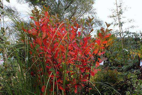 Aronia arbutifolia 'Brilliant' 2309