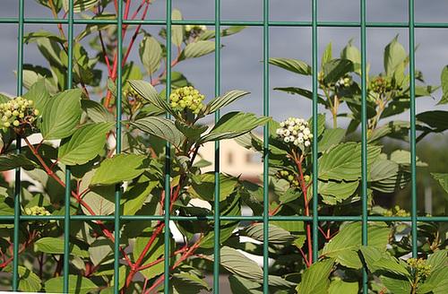 Cornus alba - cornouiller blanc 2326