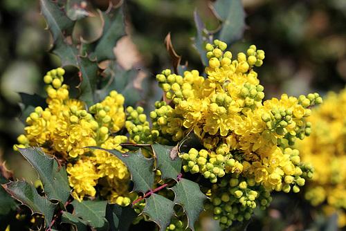 Mahonia x wagnerii (aquifolium x pinnata) 2330
