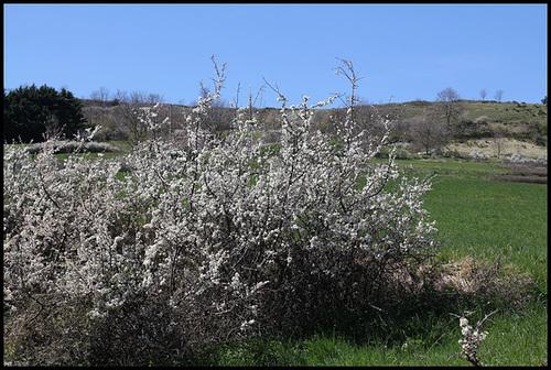 Prunus spinosa - prunellier, épine noire 2334